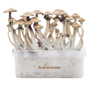 Magic mushroom grow kit McKennaii XP by FreshMushrooms®